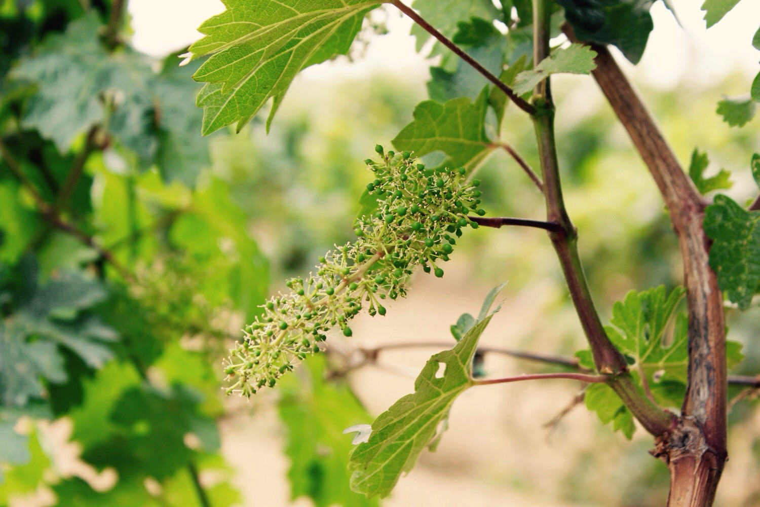 Grapes growing in Grace Vineyard