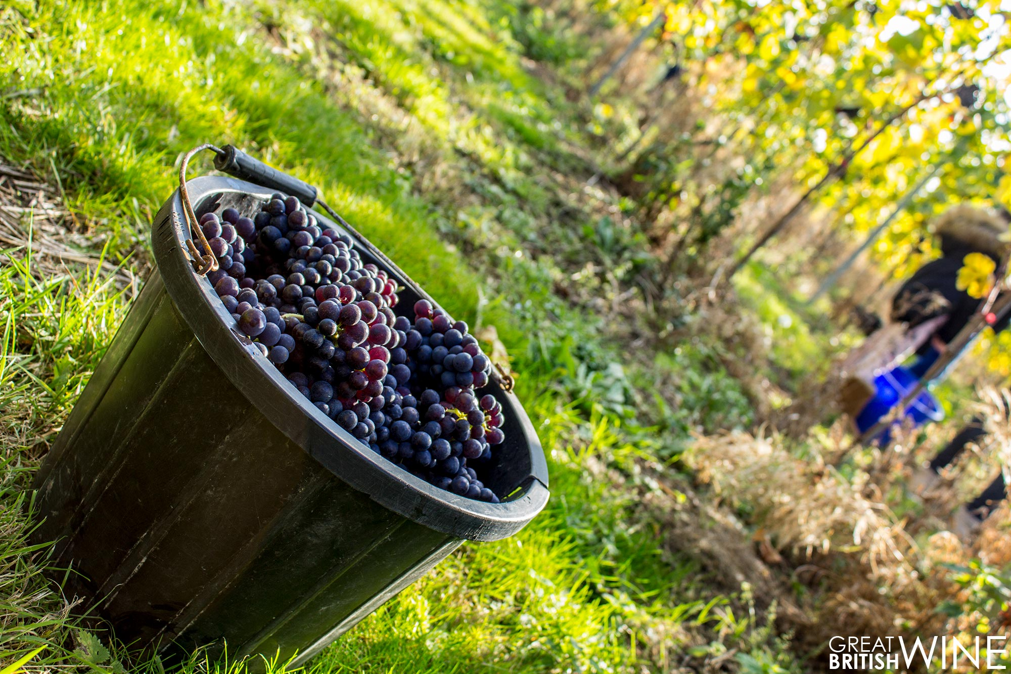 harvest2016_squerryes_grapes