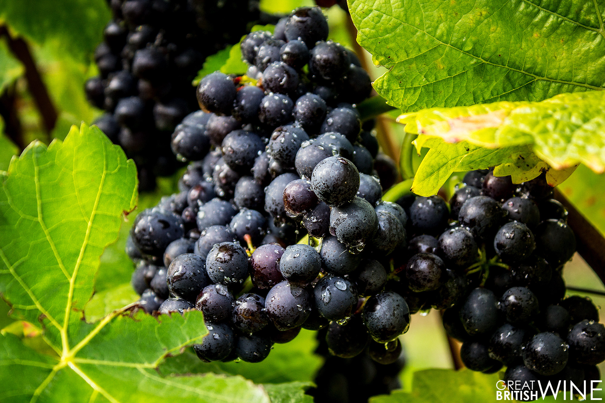 harvest2016_greyfriars_grapes